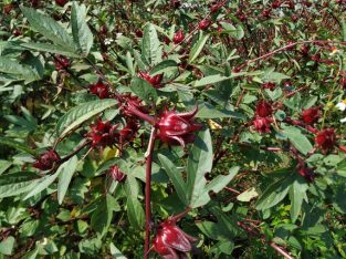 Roselle Tea Dried Herbal Hibiscus Flower Natural (AVAILABLE FOR EXPORT)