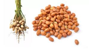 Organic Groundnut seeds