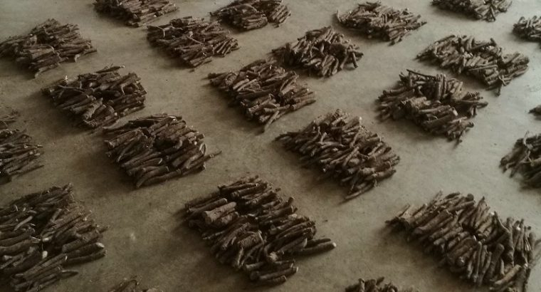 Harvest Fresh Paulownia Roots Cutting For Sale